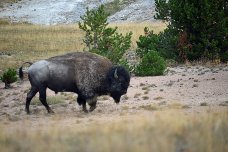 This old bull Bison must have wanted a hot shower as he was within the viewing path surrounding Old Faithfull at Yellowstone National Park in August 2013.