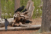 A group of Ravens hanging around a picnic area in Yellowstone National Park in August 2013.